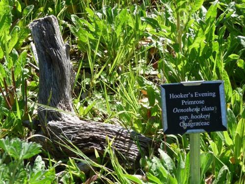 Hooker's evening primrose