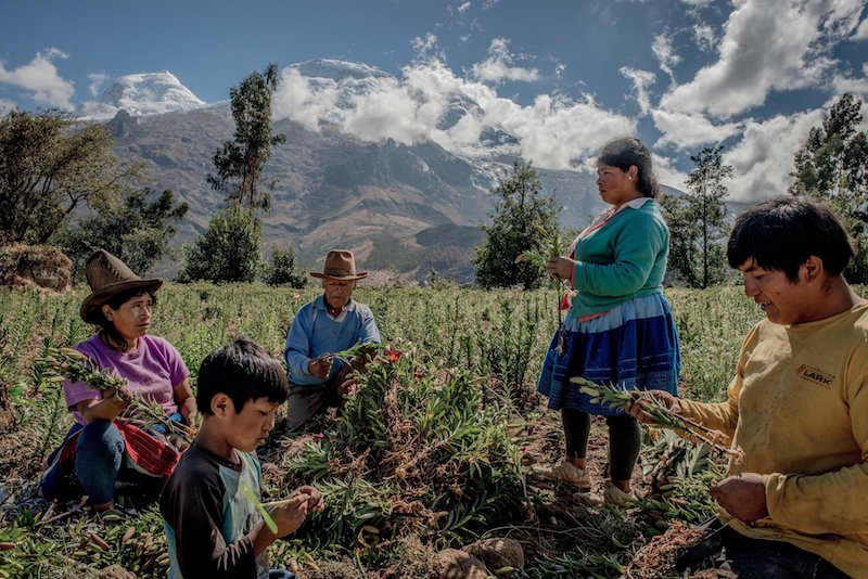 Peruvian family harvesting flowers