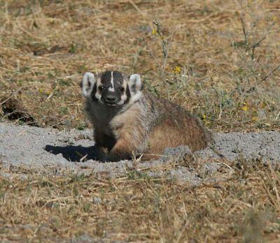 Badger