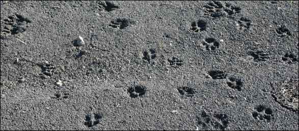 Multi species animal tracks