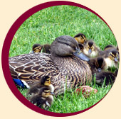 Picture of duck family
