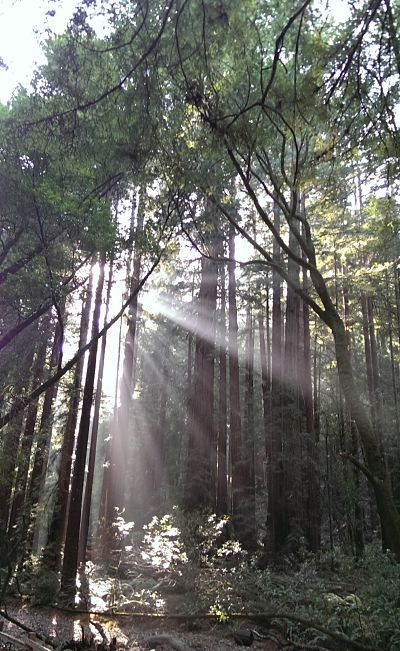 Sunlight glinting through branches at Muir Woods